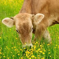 græssende ko